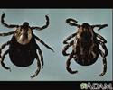 Ticks